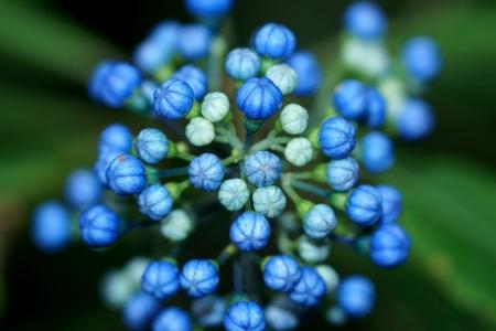 Blue wild flowers. (Dichroa febrifuga Lour. Hydrangeaceae)