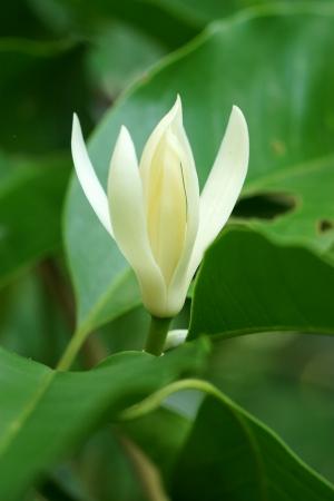 White Champaka on the tree are blooming. Michelia alba DC.) Stock Photo
