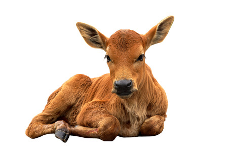 A calf on the road Stock Photo