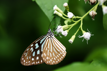 Dark Blue Tiger Butterfly (Tirumala septentrionis) photo