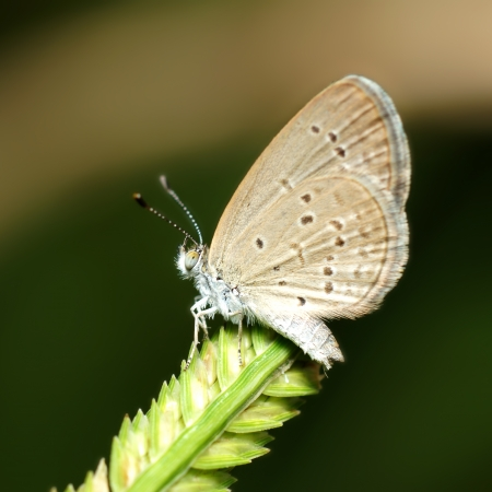 Butterfly name  Pale Grass Blue  Zizeeria maha   on a leaves  photo