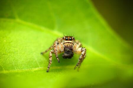 arachnoid: detailed view of Phiddipus regius jumping spider