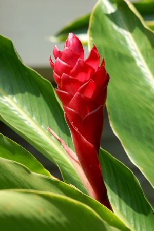 beautiful tropical red ginger flower photo