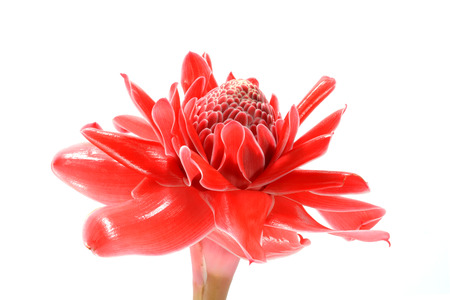 beautiful tropical red ginger flower on isolate white . photo