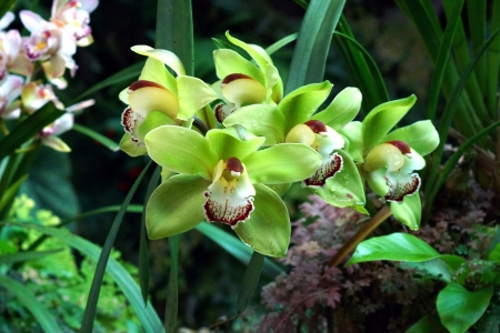 Green Orchid Paphiopedilum photo