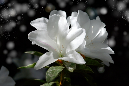 romcaper: The park is carpeted with white azalea blossoms.