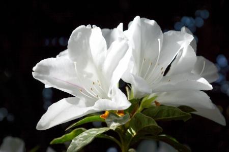 seres vivos: El parque se cubre de flores de azalea blanca.