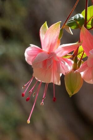 flores fucsia: Hermosas flores fucsia (gotas para el o�do de la se�ora)