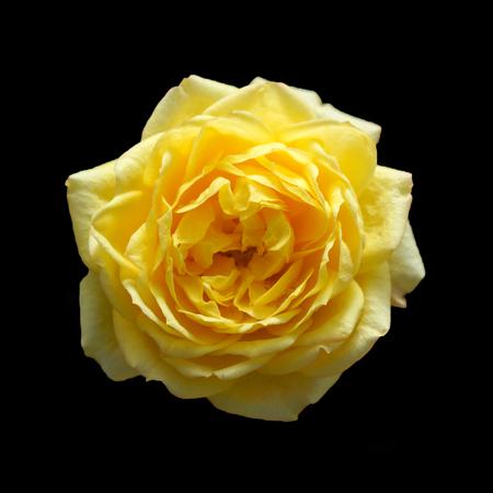 rosas amarillas: hermosa rosa amarilla aislado en negro