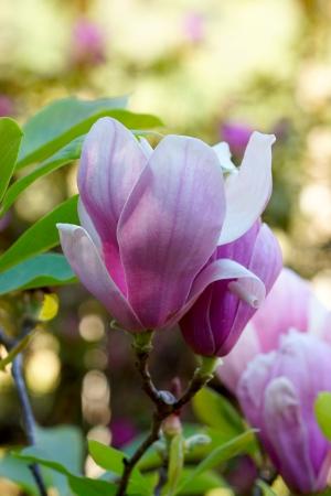 pink magnolia flower