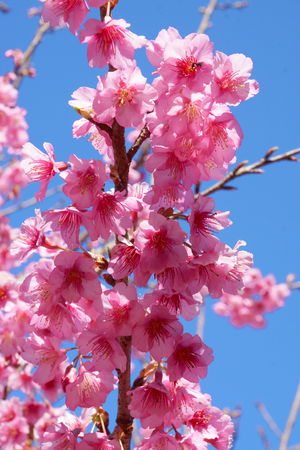 Pink Flower Wild Himalayan Cherry (Prunus cerasoides) photo