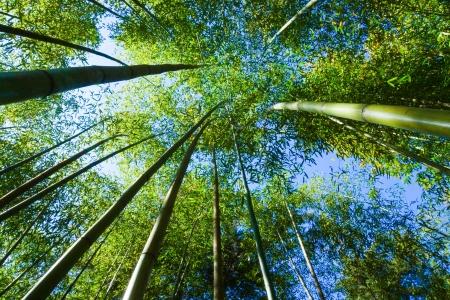 corridors: Natural corridors of bamboo forest.