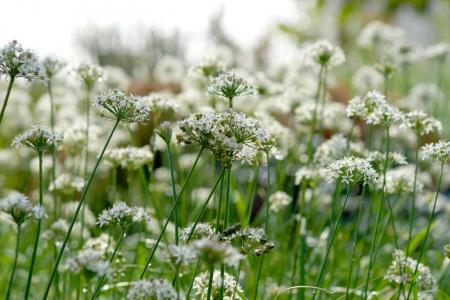Garlic chives flower