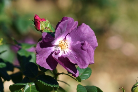 introductions: New Rose Introductions from Chamblee Rose Nursery - Blue For You