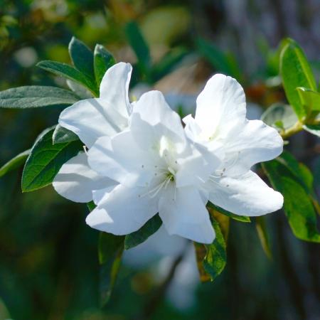 seres vivos: Azaleas blancas en primavera. Foto de archivo