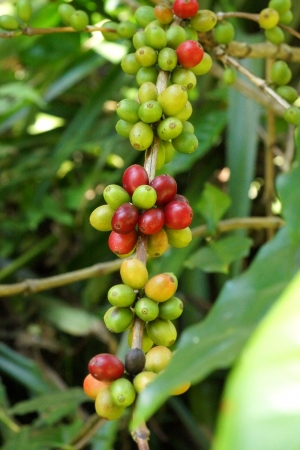 unpicked: Fresh coffee beans on the tree