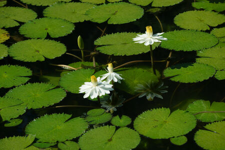 nymphaea: Waterlily in Botanical gardens Stock Photo
