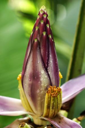 botanical gardens: Purple banana flower in in the botanical gardens. (Musa gracilis Holttum)