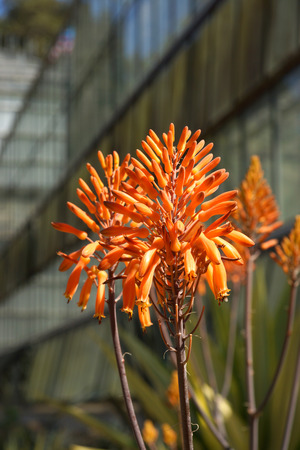Orange agave flower in Botanical gardens photo