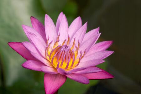 botanical gardens: Waterlily in Botanical gardens Stock Photo