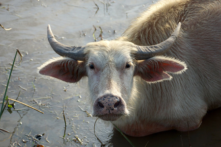closeup cow face: Close up White Buffalo