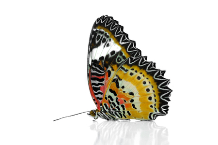nymphalidae: Colorful Leopard Lacewing butterfly on isolate background