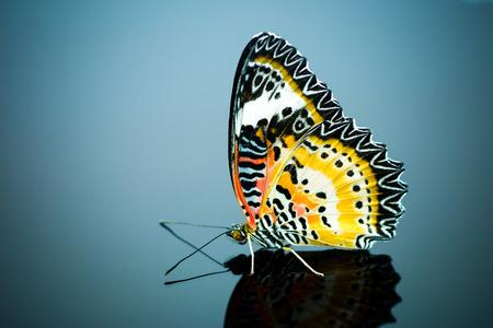 chrysope: Colorful papillon Leopard chrysope sur fond isolat