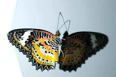 lacewing: Colorful Leopard Lacewing butterfly on isolate background