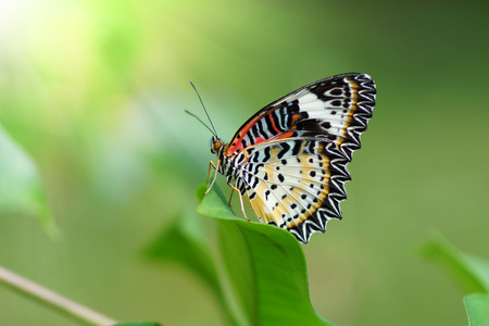 lacewing: Lacewing Butterfly resting on a green leaf