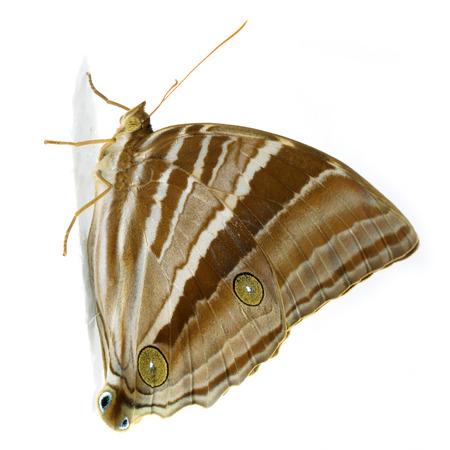 transfigure: Palmking Amathusia phidippus Butterfly. Stock Photo