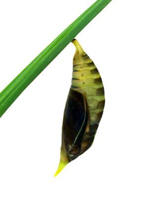 transfigure: Green Butterfly Chrysalis.  (Palmking Amathusia phidippus) Stock Photo