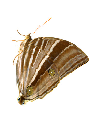 transmogrify: Palmking Amathusia phidippus Butterfly. Stock Photo