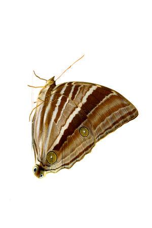 transmute: Palmking Amathusia Phidippus mariposa.
