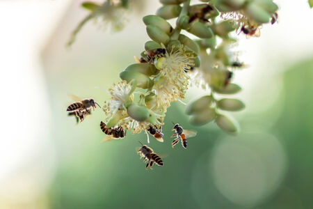 Bees collect nectar at palm flowers  photo