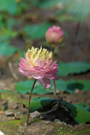 beautiful pink lotus flower in blooming photo