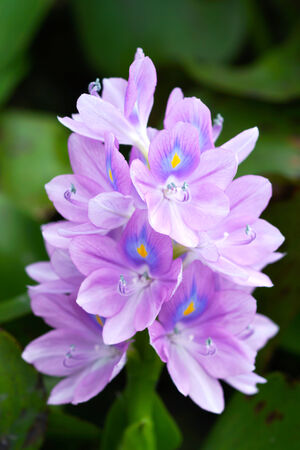 species of creeper: Purple water hyacinth flowers are blooming.  In the area of plant genetic conservation, Thailand. Stock Photo