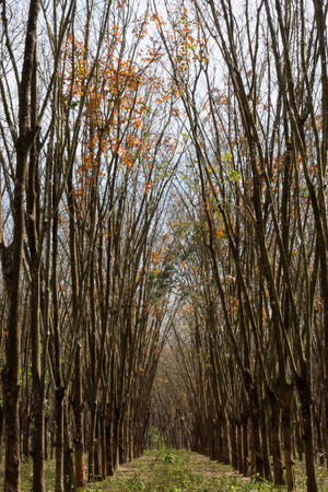 Rubber trees shed their leaves, in autumn. photo