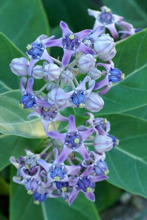 gigantesque: Fleur pourpre color�, fleur de la Couronne, g�ant indien de l'ascl�piade, Gigantic swallowwort (Calotropis gigantea)