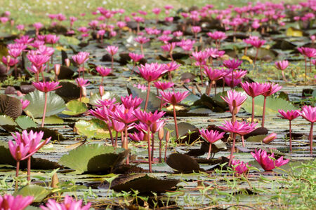 beautiful pink waterlily flower in blooming photo
