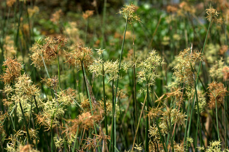 Sedge flower. (Cyperus imbricatus) photo