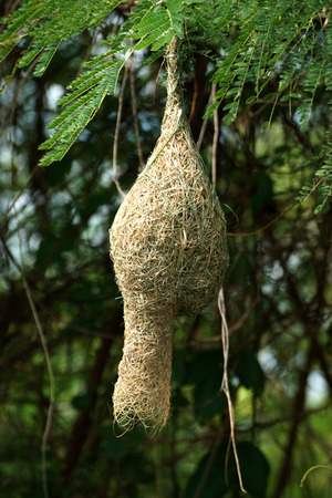 weaver bird nest: bird nest on a branch of the tree
