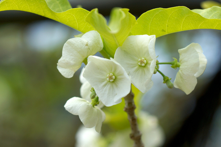 roth: White flower of Vallaris solanacea (Roth) Kuntze. Stock Photo