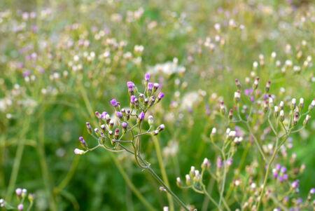 野草: wild grass in sunset counterlight 写真素材