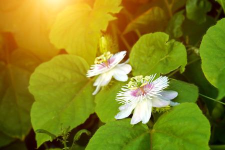 stinking: Fetid passionflower, Scarletfruit passionflower, Stinking passionflower (Passiflora foetida)