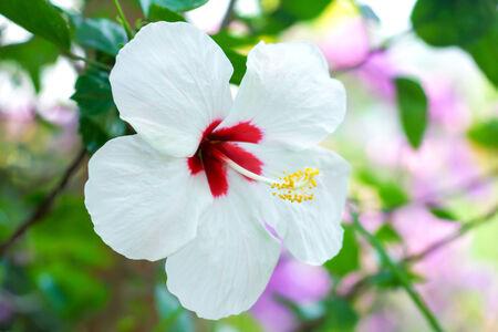 Weiß Hibiskus-Blume Lizenzfreie Fotos, Bilder Und Stock Fotografie ...