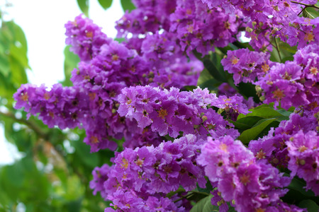 Violet color of Queens crape myrtle flower.(Lagerstroem ia speciosa (L.) Pers.) photo