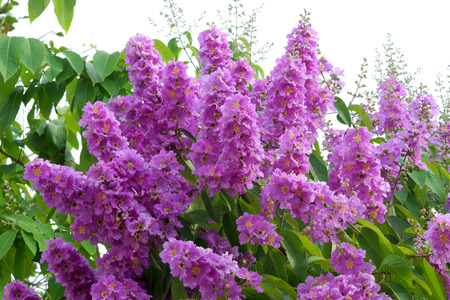 pers: Violet color of Queens crape myrtle flower.(Lagerstroem ia speciosa (L.) Pers.)