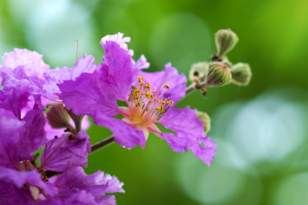Violet color of Queen's crape myrtle flower.(Lagerstroem ia speciosa (L.) Pers.)