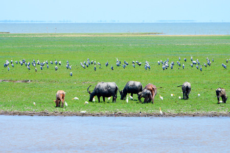 wildlife conservation: water buffalo eating grass in wildlife conservation.