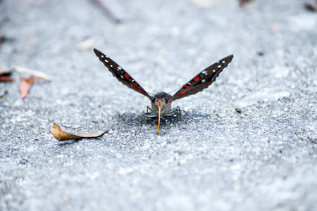 gaudy: Common Gaudy Baron Butterfly. (Euthalia lubentina)